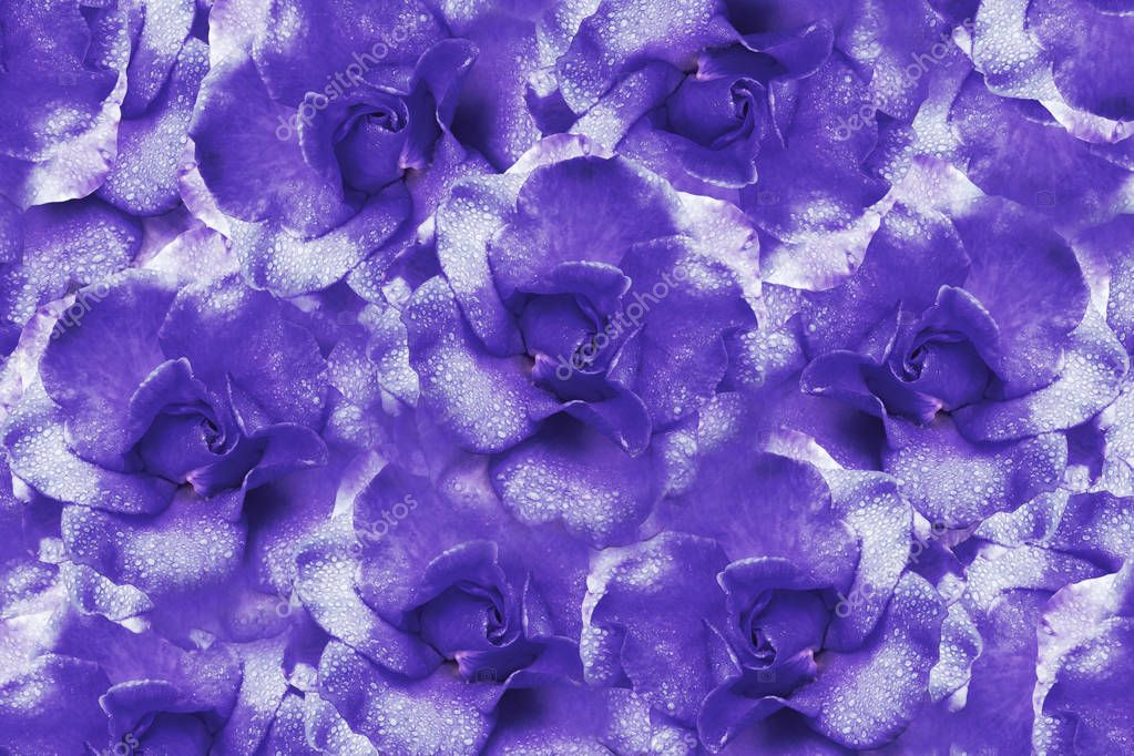 Floral  violet background from roses.  Flower composition. Flowers with water droplets on petals. Close-up.  Nature.
