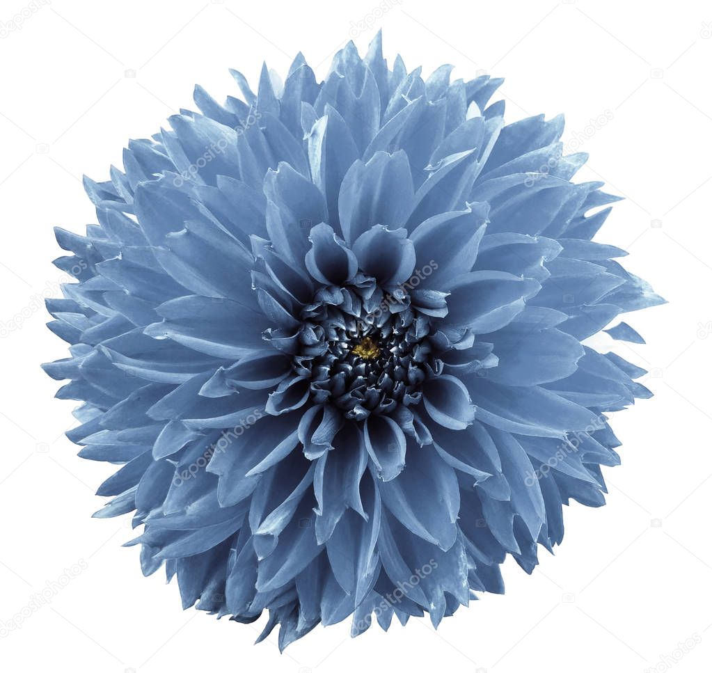 flower light blue dahlia. White isolated background with clipping path.   Closeup.  no shadows.  For design.  Nature.