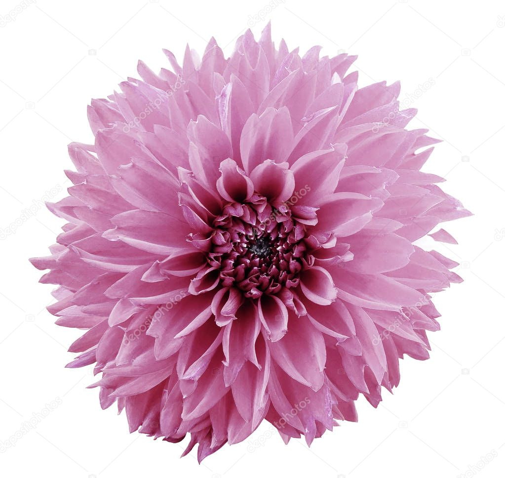 flower light pink dahlia. White isolated background with clipping path.   Closeup.  no shadows.  For design.  Nature.