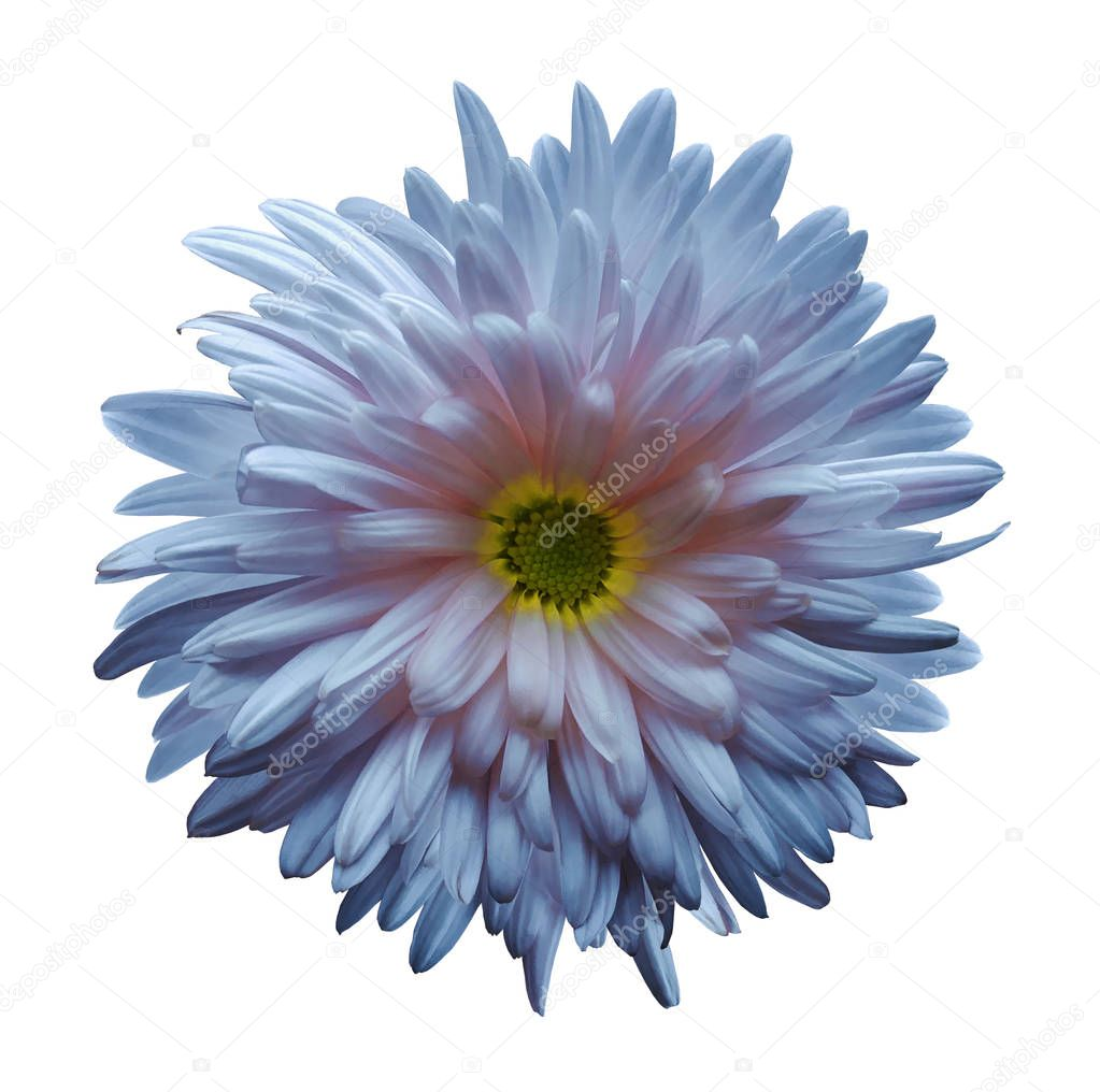 Light blue-pink aster flower isolated on white background with clipping path.  Closeup no shadows.  Nature.
