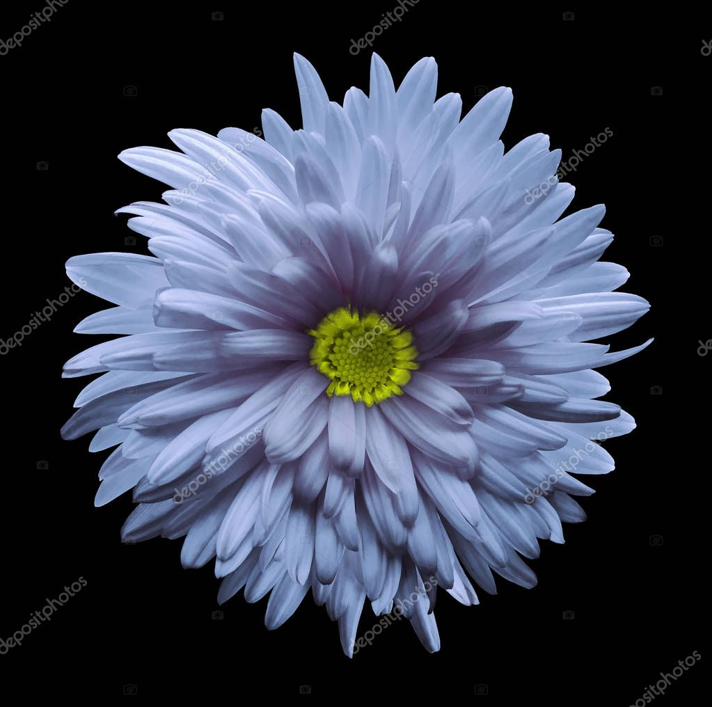 Light blue aster flower isolated on black  background with clipping path.  Closeup no shadows.  Nature.