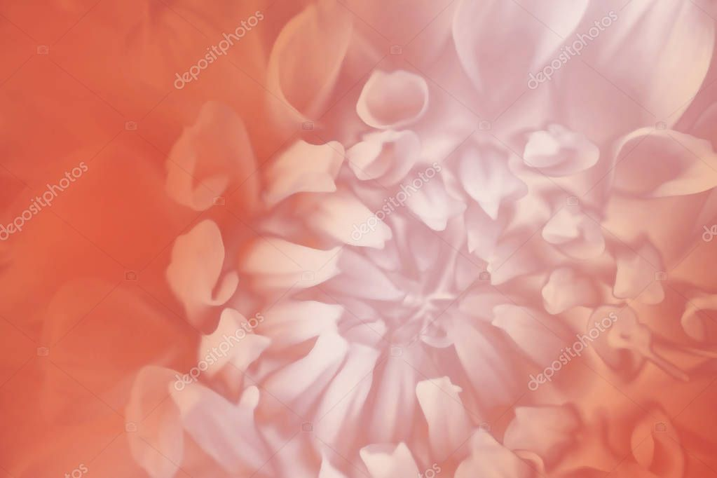 Floral white-red background. Background of a dahlia flower close-up. Macro. Nature.