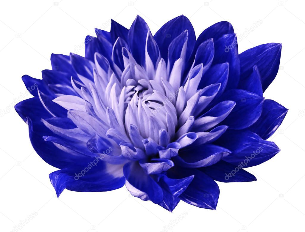 Flower  blue-white dahlia is blooming. Flower isolated on white background with clipping path no shadows. For design. Close-up. Nature.