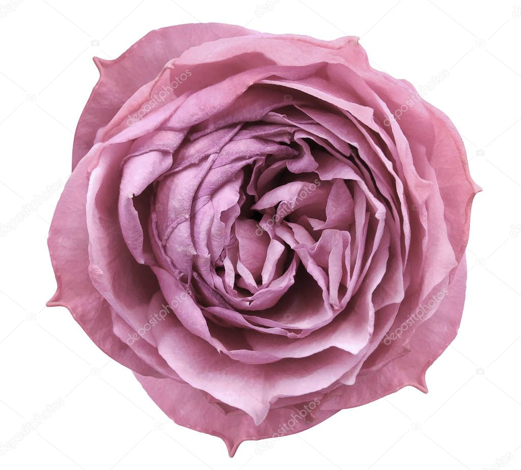 Light Pink rose flower white isolated background with clipping path.  Closeup no shadows. Nature.