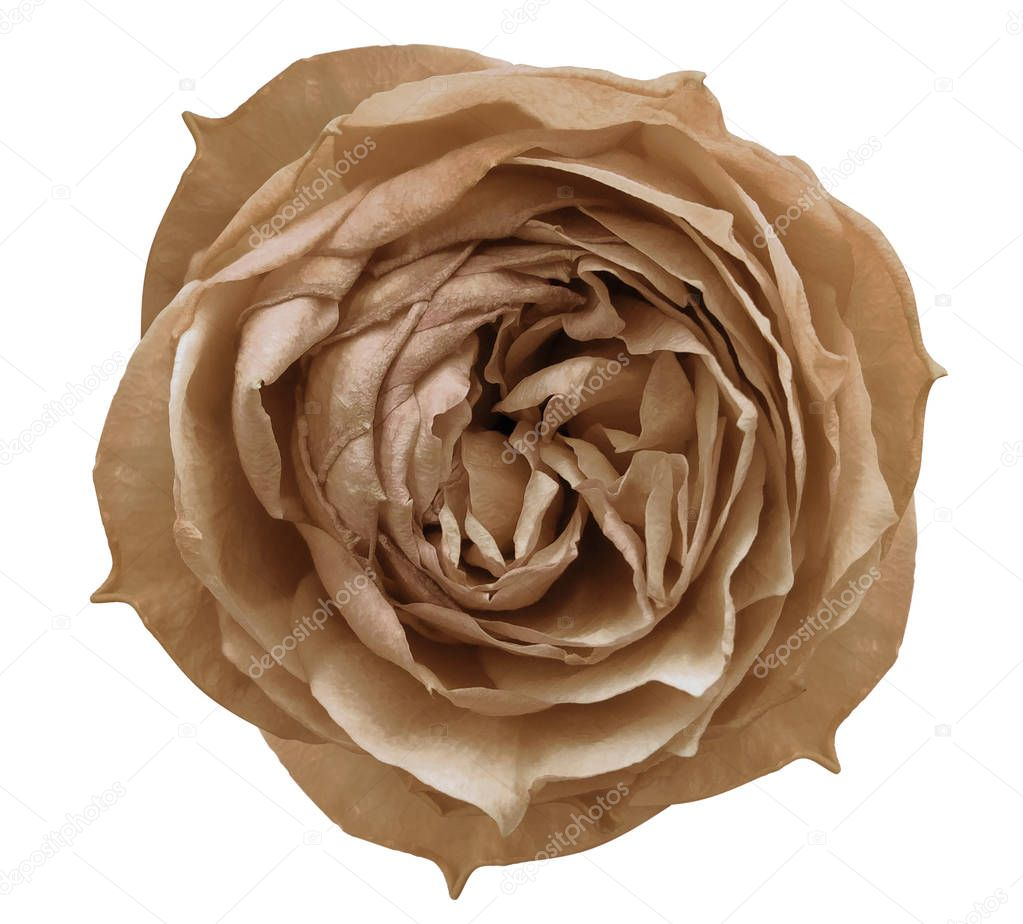 Pink rose flower white isolated background with clipping path.  Closeup no shadows. Nature.