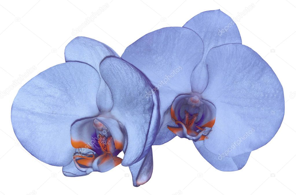Orchid blue flower  isolated on white background with clipping path. Closeup. blue  phalaenopsis flower with  orange-violet-blue lip. Nature.