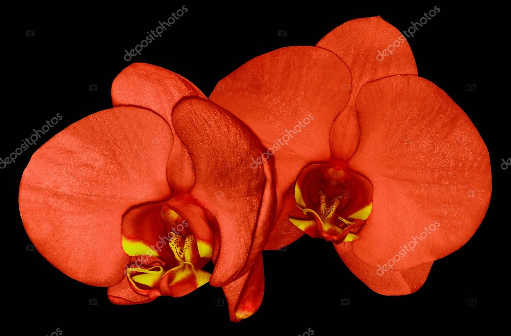 Orchid  red  flower  isolated on black  background with clipping path. Closeup. Red  phalaenopsis flower with  red-yellow  lip. Nature.