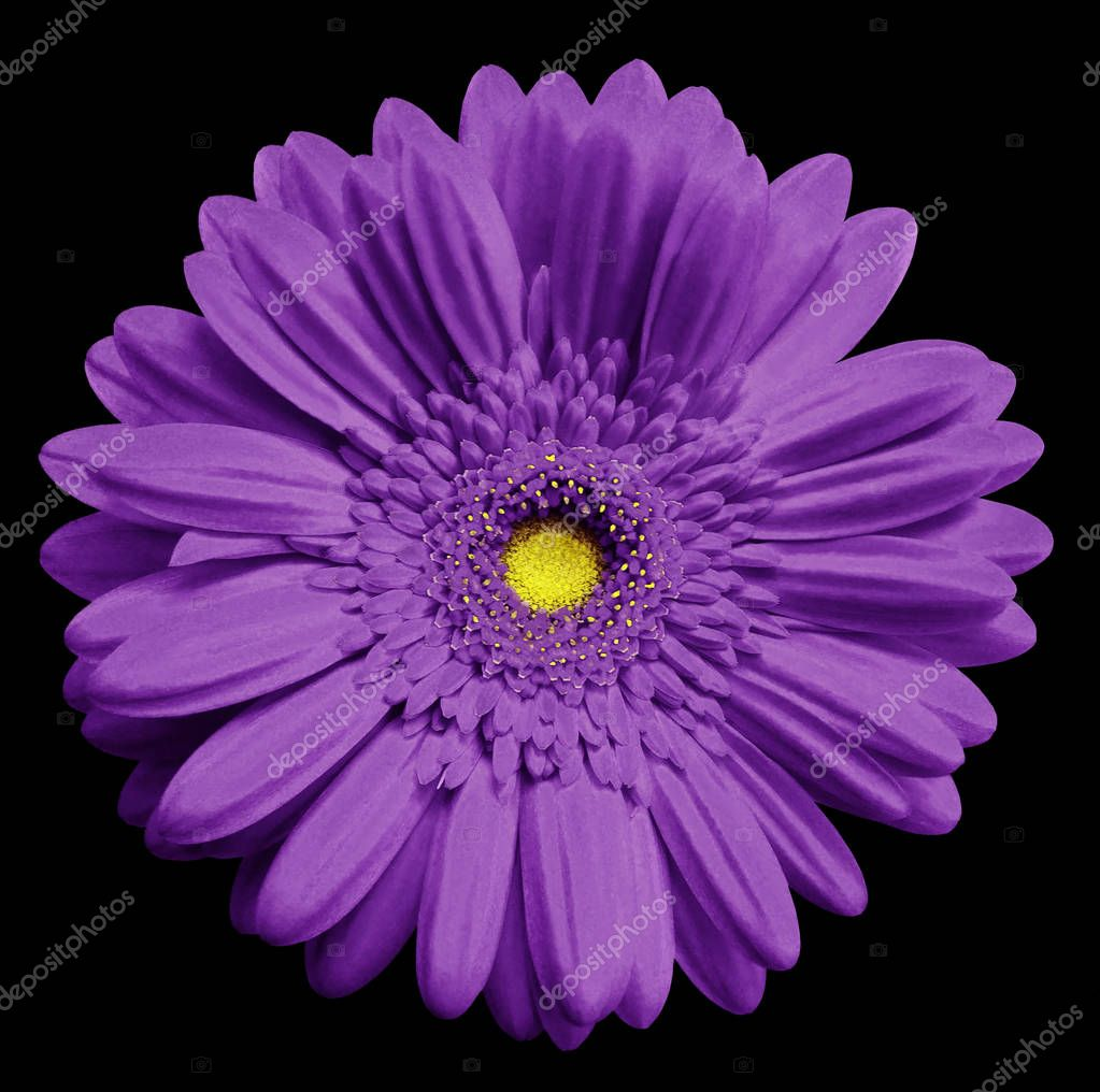 Violet   gerbera flower, black isolated background with clipping path.   Closeup.  no shadows.  For design.  Nature.