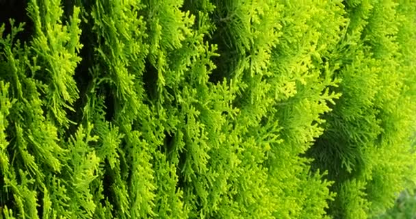 Green leaves of a coniferous plant, thuja, swaying in the wind, macro, clean air environment protection of the environment