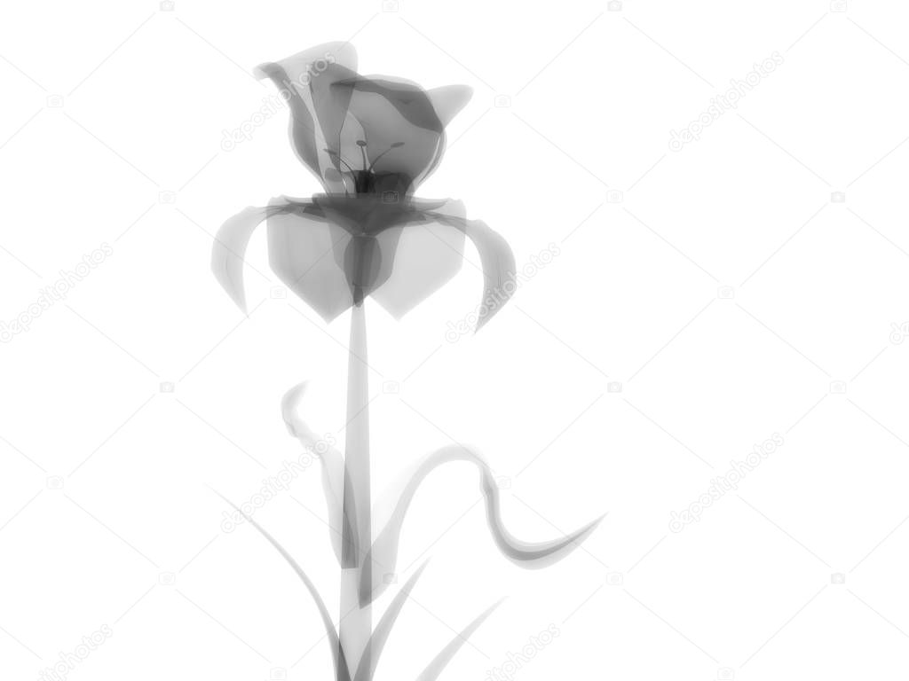 Radiography flower, macro on white, x-ray