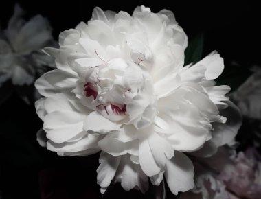 white peony flower close-up