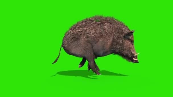 Vaddisznó Green Screen Runckerekű oldalsó hurok 3D rendering animáció