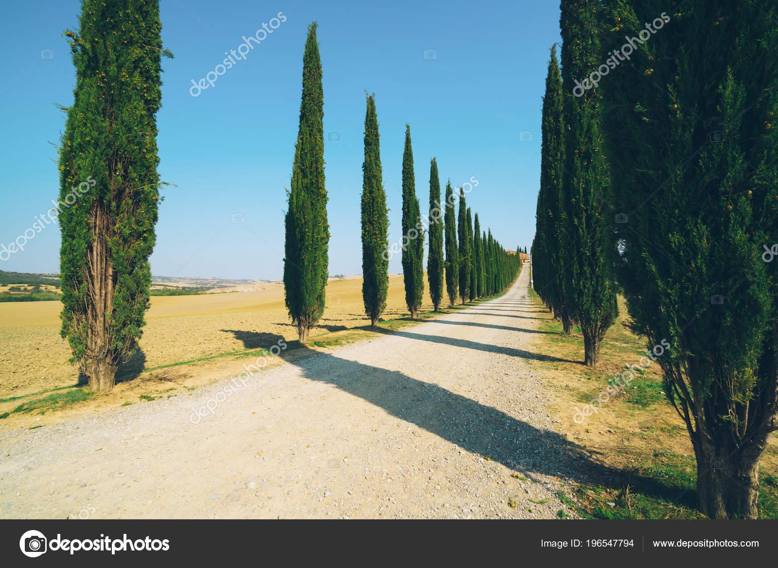 9942b3560b98 Filtro pellicola sbiadita - paesaggio della Toscana della fila di alberi di  cipresso lungo strada laterale nella campagna d Italia.
