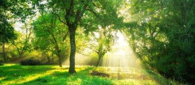 """Картина, постер, плакат, фотообои """"зеленый лесной фон с утренним восходом солнца в весенний сезон. природа . постеры"""", артикул 221063888"""