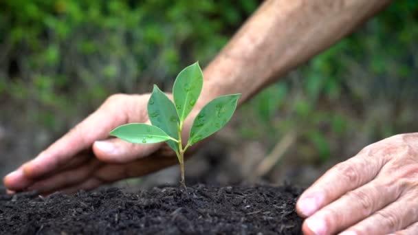 Senior ruční pěstování, péče o mladé strom klíček.