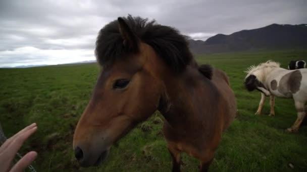 Islandpferd in der malerischen Natur Islands.