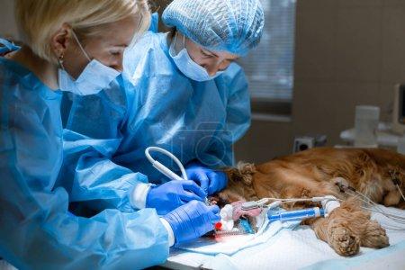 Photo pour Dentisterie vétérinaire. Vétérinaire dentiste chirurgien avec un assistant nettoie et traite les dents du chien sous anesthésie sur la table d'opération dans une clinique vétérinaire. Assainissement de la cavité buccale chez le chien . - image libre de droit