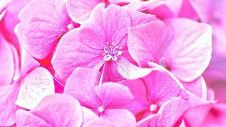 Photo pour Fleurs d'hortensia rose. Floral fond. - image libre de droit