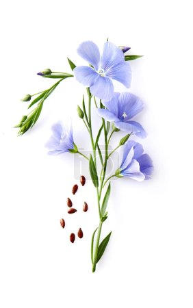 Flax flower with seeds in closeup