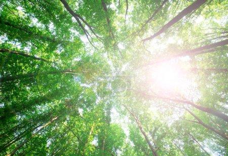 Photo pour Arbres forestiers. nature bois vert soleil arrière-plan - image libre de droit