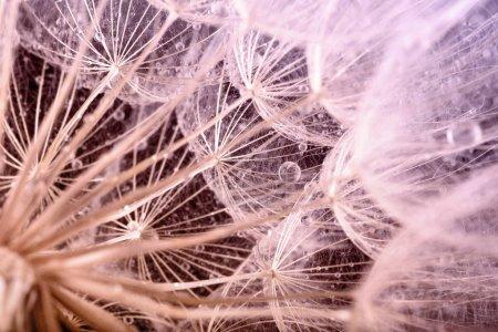 Photo pour Macro photo de graines de pissenlit avec des gouttes d'eau - image libre de droit