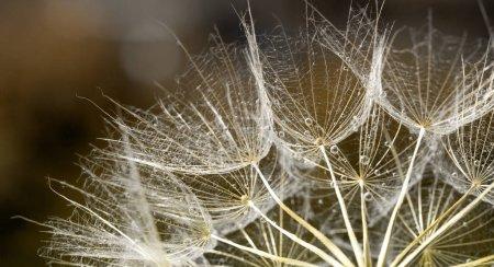 dandelion seed background. Seed macro closeup. Spring nature
