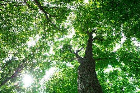 Photo pour Des arbres forestiers. Nature bois vert fonds de lumière du soleil - image libre de droit