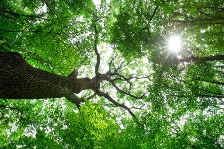 Photo pour Arbres forestiers. nature vert bois lumière du soleil milieux - image libre de droit