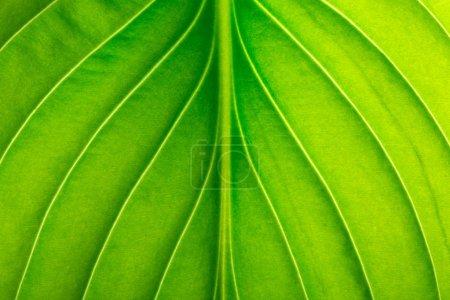 Photo for Texture of a green leaf as background. leaf texture - Royalty Free Image