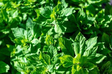 Photo pour Menthe verte plante pousser à légume jardin - image libre de droit