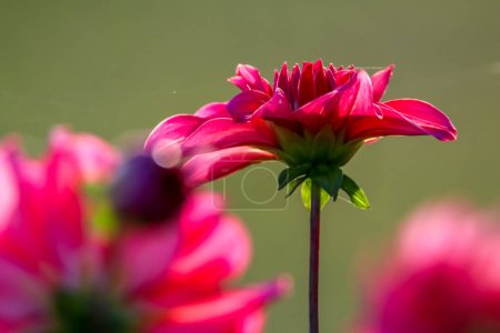 Background with  red dahlia on green background. Dahlia is tuberous-rooted plant of daisy family, which is cultivated for its brightly coloured single or double flowers.