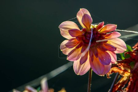 Background with  dahlia and spider web. Dahlia is tuberous-rooted plant of daisy family, which is cultivated for its brightly coloured single or double flowers.