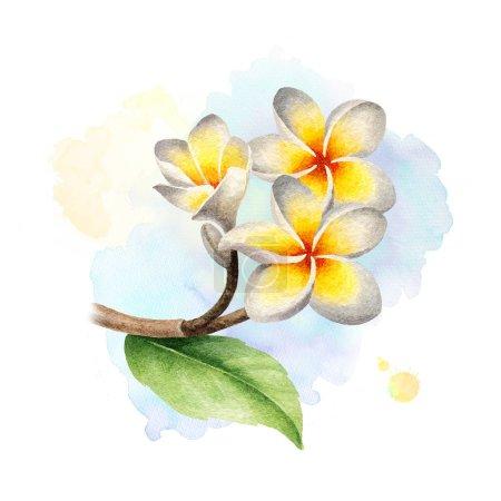 Photo pour Illustration aquarelle de fleurs frangipanes - image libre de droit