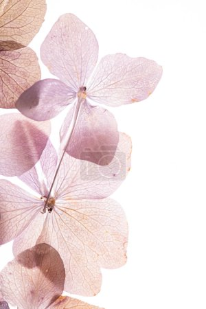 Photo for Pink hydrangea flowers on the white background. - Royalty Free Image