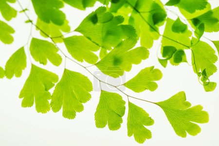 Photo for Green leaves on branch isolated on white - Royalty Free Image