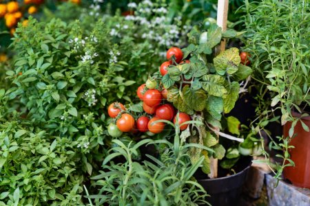 Photo for Herbs and vegetables in the pots in garden - Royalty Free Image