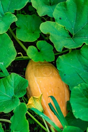 Photo for Organic pumpkin in the garden, close up - Royalty Free Image