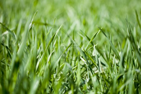 Photo for Field of green grass background. - Royalty Free Image