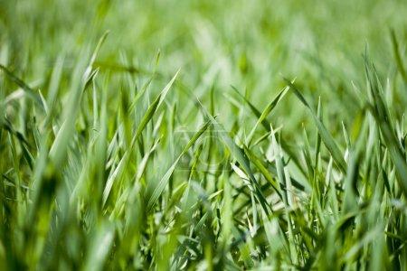 Photo pour Domaine de fond herbe verte. - image libre de droit