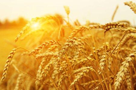 Primer plano del trigo. Campo de trigo al sol. Cosecha y concepto alimentario
