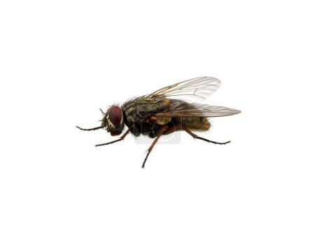 Photo for Fly isolated on a white - Royalty Free Image