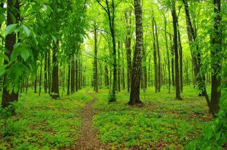 Photo pour Des arbres forestiers. nature bois vert au printemps - image libre de droit