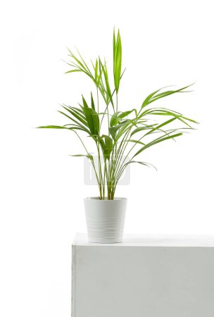 Photo for Areca palm in white flowerpot on white background - Royalty Free Image