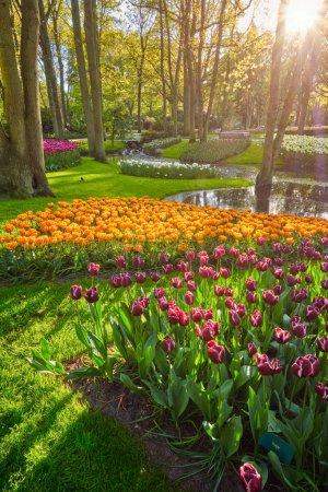 Photo pour Jardin de fleurs Keukenhof avec parterre de tulipes en fleurs - l'un des plus grands jardins de fleurs au monde au coucher du soleil. Lisse, Pays-Bas . - image libre de droit
