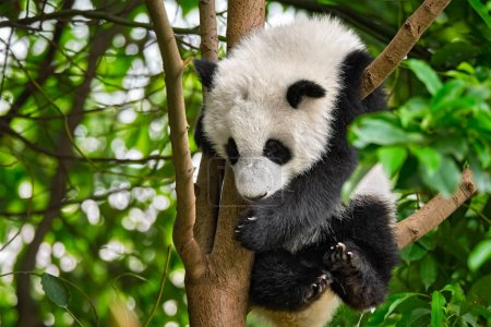 Photo pour Symbole touristique chinois et attraction mignon panda géant ourson sur l'arbre. Chengdu, Sichuan, Chine - image libre de droit
