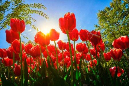 Photo pour Des tulipes rouges en fleurs sur fond de ciel bleu avec du soleil depuis un point de vue bas. Pays Bas . - image libre de droit
