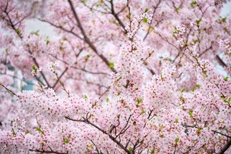 Photo pour Fond de fleur de cerisier sakura floraison au printemps, Corée du Sud - image libre de droit