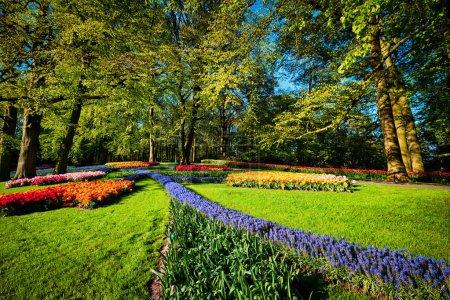 Photo pour Les tulipes en fleurs fleurissent dans le jardin fleuri de Keukenhof, également connu sous le nom de jardin de l'Europe, l'un des plus grands jardins de fleurs du monde et une attraction touristique populaire. Lisse, Pays-Bas . - image libre de droit