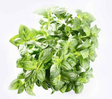 Green fresh basil for healthy cooking.