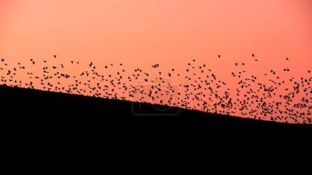 Photo pour Grand troupeau d'oiseaux au-dessus de la colline sombre sur le fond de ciel nocturne rose clair en Moravie - image libre de droit